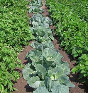 Vegetable-Garden survival seeds