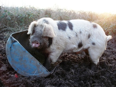 Pig_dinner