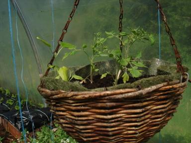 Hanging_basket_tomatoes
