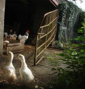 Ducks_arrive