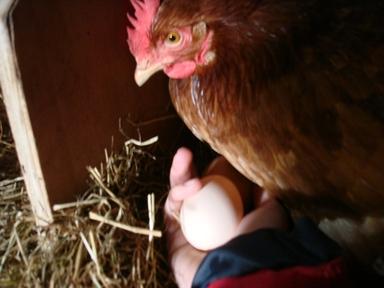 Chicken_eggs