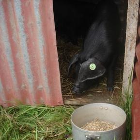 Little_large_black_piglet