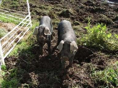 Inquisitive_pigs_low_res